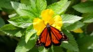 Farfalla monarca Pollinates fiore quindi prende il volo, Close-up HD