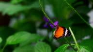 Monarch Zeitlupe 240fps