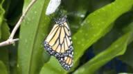 T/L Monarch butterfly (Danaus plexippus) stretching wings