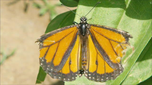 Monarch butterfly with brocked wings