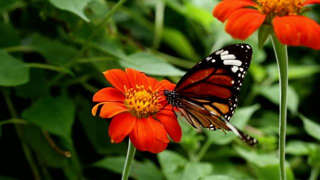 Farfalla monarca con fiore Zinnia
