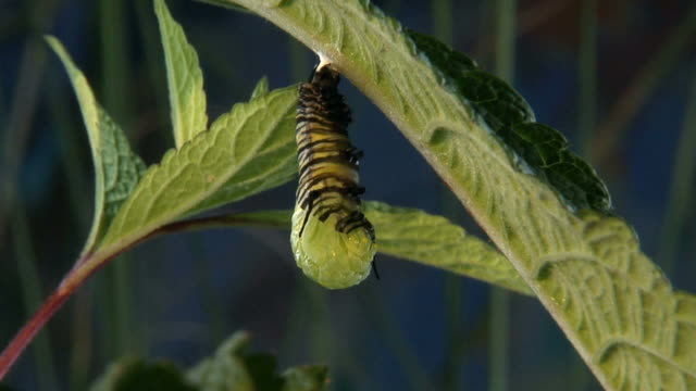 MS, Monarch caterpillar (Danaus plexippus) changing into pupa stage on underside of leaf, Halifax, Nova Scotia, Canada