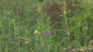 Monarda Flowers & Prairie Plants