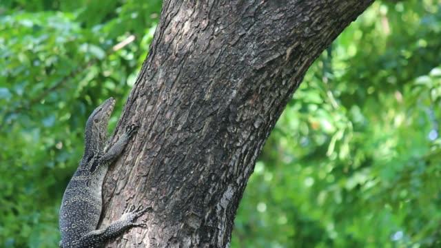 Controleren van de hagedis klimmen op boom (Varanus bengalesis)