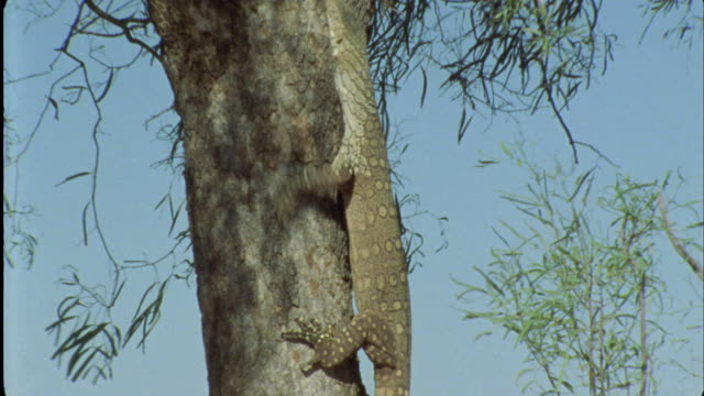 MS TU WS Monitor lizard climbing up tree / Northern Territory, Australia