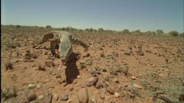 POV Monitor lizard crawling on desert / Northern Territory, Australia