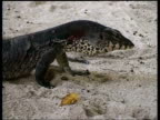 CU Monitor Lizard on sand, MS Monitor moving out of frame to the left, long tail, Sipadan, Borneo, Malaysia