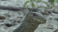 A monitor lizard snaps at buzzing flies then tears the flesh from a carcass. Available in HD.