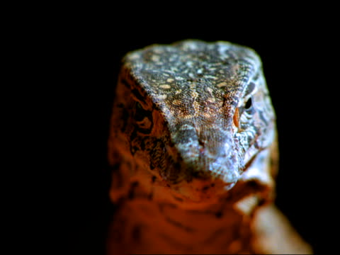 A monitor lizard stares intently forward.