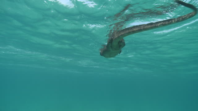MS TS Monitor lizard swimming / Pulau Tiga, Sabah, Malaysia