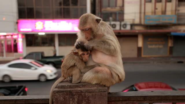 Monkey und Sohn zu Fuß am Tempel