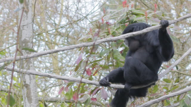 Monkey climbing down branches and vines