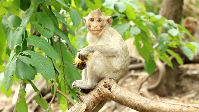 Scimmie mangiare mais su albero