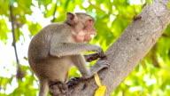 Monkey eating.