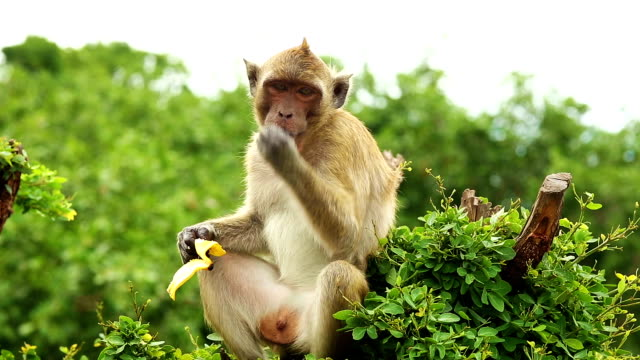 Monkey eats banana