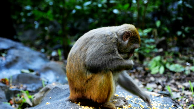 Scimmia cibo di mais