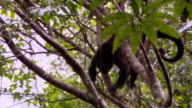 A monkey leaps from branch to branch in a leafy tree.