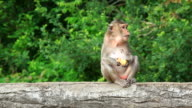 Monkey macaque sitting on wood log and eating