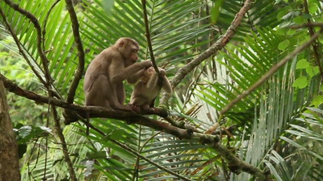 Scimmia madre pulisce il Suo cucciolo.