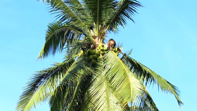 Monkey on coconut tree