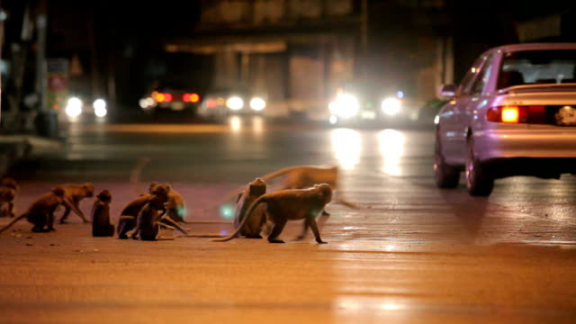 monkey rampage at twilight in the city, Lopburi, Thailand