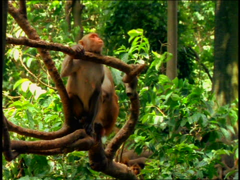 Monkey rests chin on tree branch / 2 small monkeys playing in far background / Cayo Santiago, Puerto Rico