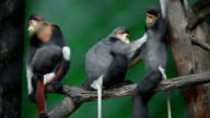 monkey searching fleas