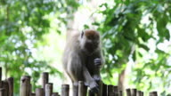 MS Monkey sitting on bamboo fence /  Krabi, Krabi, Thailand