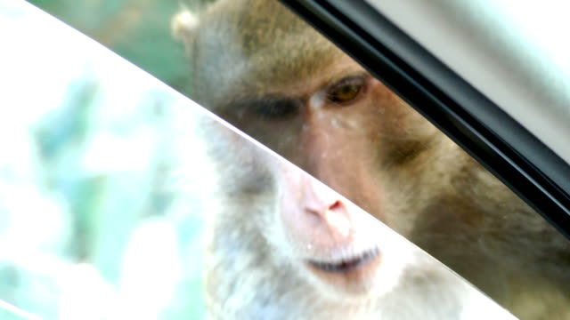 Monkey waiting food from people at window's car , car running