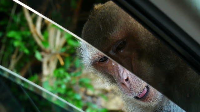 Monkey waiting food from people at window's car