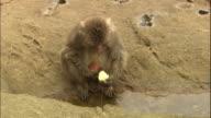 A monkey washing a potato in the sea.