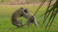 WS PAN Monkeys playing on grass / Livingstone, Zambia