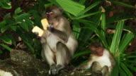 Monkeys (HD 1080)