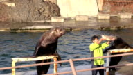 Monkichi the Steller sea lion gulps down an entire salmon in a show at the Otaru Aquarium in Otaru Hokkaido November 9 2015 in Otaru Japan