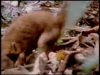 Montage of an anaconda catching and constricting a young coatimundi to deathnAn anaconda catches and constricts a young coatimundi to death