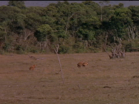 Montage of hyenas in the African grasslands
