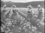 Montage of ladies in Dutch girl outfits picking daffodils daffodils swaying in the breeze ladies holding bouquets of flowers / montage of bride and...