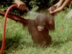 Montage of two men hosing off a young orangutan