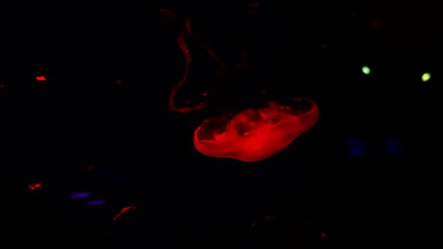 Moon Jellyfish in Aquarium