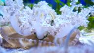 4K maan kwallen in Aquarium