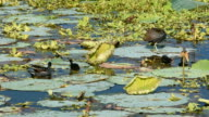 Moorhen parents and chicks among floating lily pads