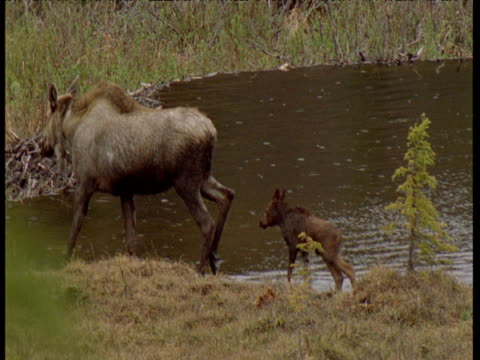 Moose and calf walk by pool, Alaska