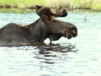MS, PAN, Moose bull (Alces alces) feeding in lake, Algonquin Provincial Park, Ontario, Canada