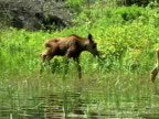 WS, PAN, Moose cow (Alces alces) and calf feeding in lake, Algonquin Provincial Park, Ontario, Canada