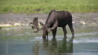 Moose Drinking