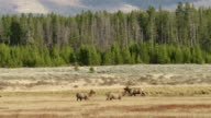 WS Moose, mule deer walking and fighting on grassy landscape / Yellowstone National Park, Wyoming, United States