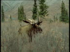 Moose stands up from long grass then walks away, Alaska