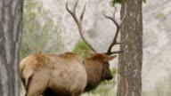 MS Moose walking on grassy land / Yellowstone National Park, Wyoming, United States