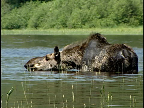 MS, PAN, Moose (Alces alces) with two calves in lake, Alberta, Canada