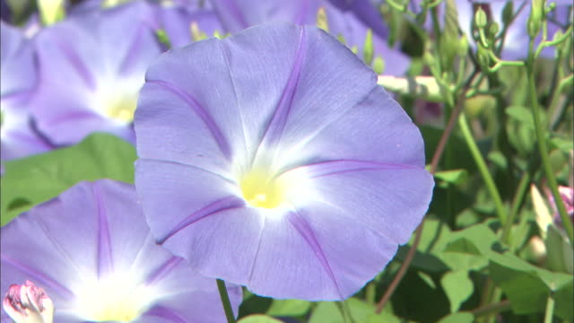 Morning glories bloom in a meadow.